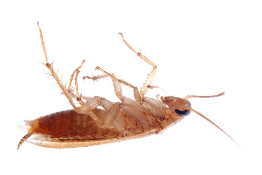 You Might Know The Small, Scurrying Critter As A German Cockroach. If You  Walk Into Your Kitchen ...